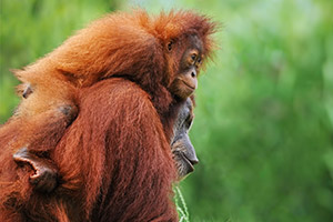 One Orangutan Carrying Another
